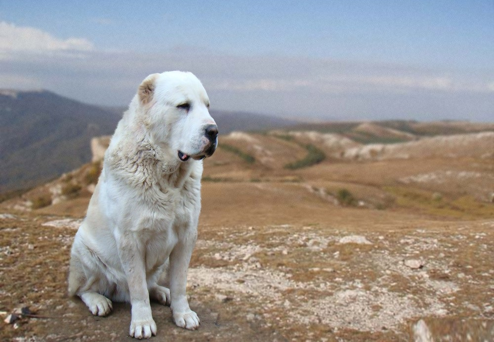 Среднеазиатская овчарка, алабай